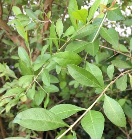 kochi-henna-plant
