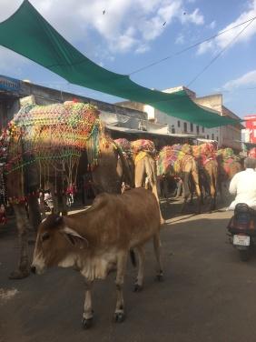 pushkar-camels